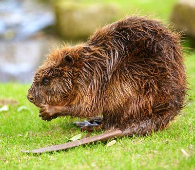 Beavers Close Encounter