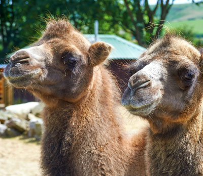 Camel Close Encounter