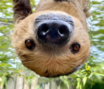 Sloth Close Encounter
